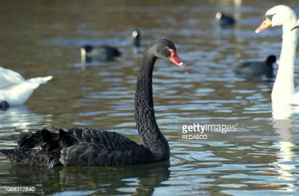 Black swan, Italy.