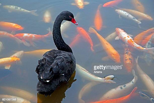 Black swan native to Australia swimming among Koi fish domesticated common carps in park pond