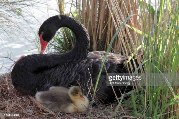 Black swan on its nest with a chick at Lake Morton.
