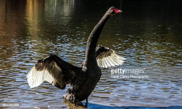 black swan - コクチョウ ストックフォトと画像