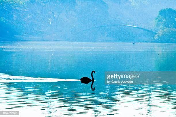 black swan swimming in lake - コクチョウ ストックフォトと画像