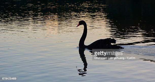 Black Swan Swimming On Lake During Sunset