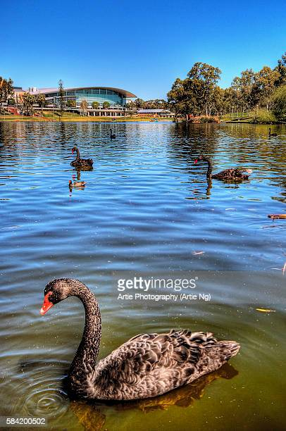 Black Swans at River Torrens with Adelaide Convention Centre in the Background, Elder Park, Adelaide, South Australia