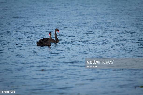 Black swans, Cygnus atratus, pair on water at dawn. Main Camp, Casino, New South Wales, Australia.