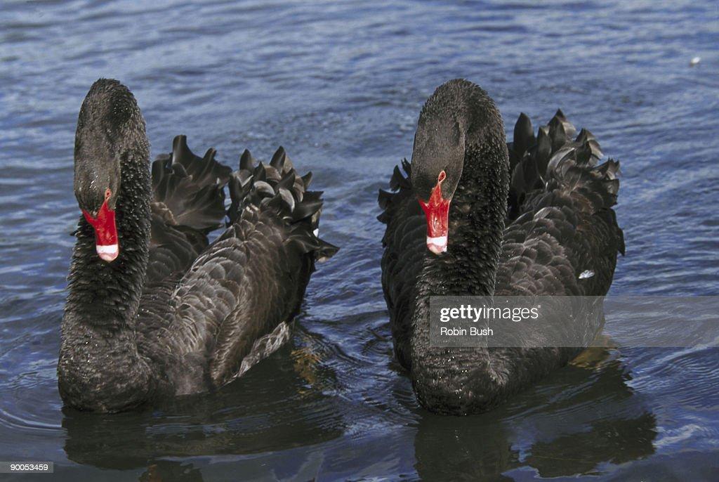 black swans cygnus atratus : Stock Photo