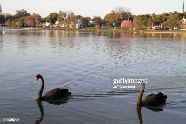 Black swans in Lake Morton.