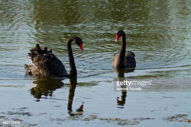 black swans in love in the lake