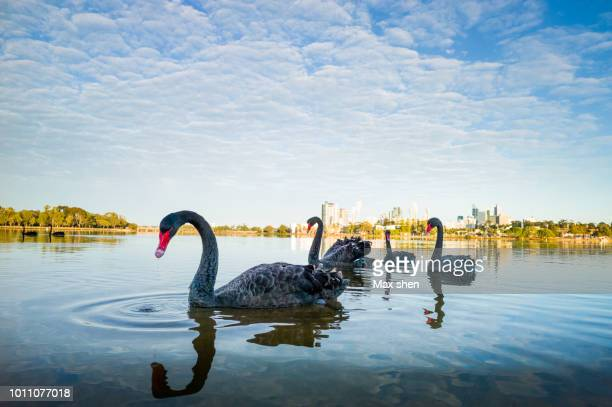 black swans in the swan river in perth city - コクチョウ ストックフォトと画像