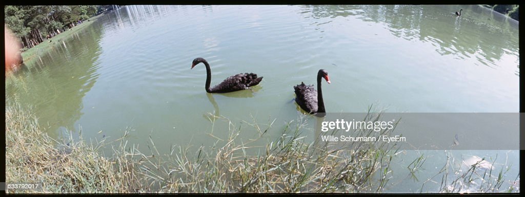 Black Swans On Lake : Foto stock