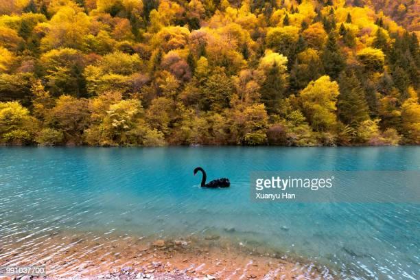 black swans swimming in lake against trees - コクチョウ ストックフォトと画像