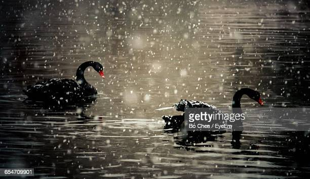 Black Swans Swimming In Lake During Snowfall