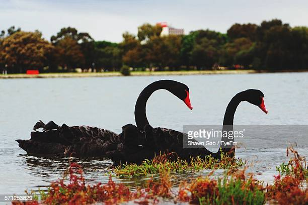 Black Swans Swimming On Lake At Heirisson Island