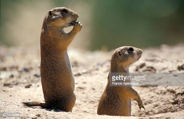'Black tail prairie dog Cynomys ludovicianus The everpresent vigilance in a prairie dog town '