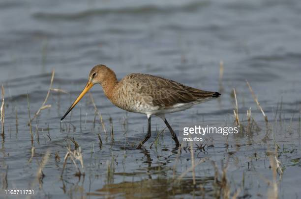 black tailed godwit (limosa limosa) - vertebrate stock pictures, royalty-free photos & images