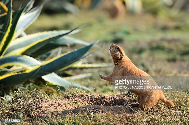 Black tailed prairie dog (Cynomys ludovicianus)