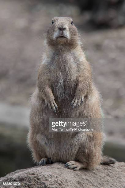black tailed prairie dog - woodchuck stock pictures, royalty-free photos & images