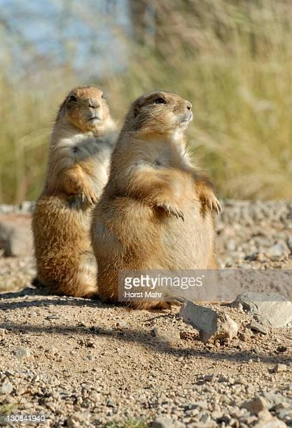 black tailed prairie dogs (cynomys ludovicianus), arizona sonora desert museum, saguaro national park west, tucson, arizona, usa - planchas_de_plata,_sonora stock pictures, royalty-free photos & images