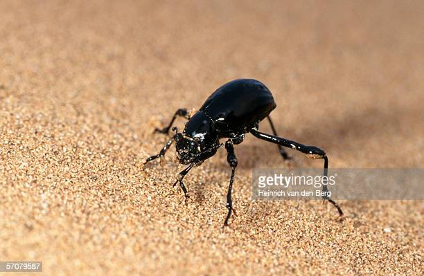 Black Tenebrionid Beetle on Desert Sand