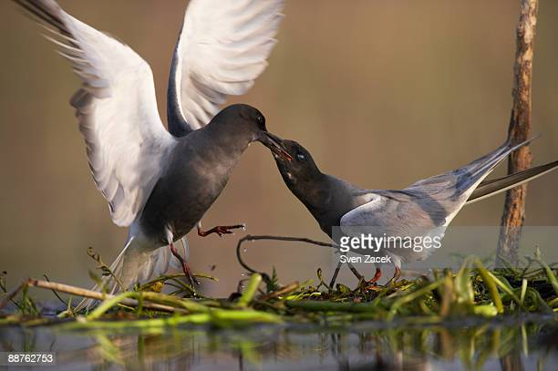 Black Tern (Chlidonias niger) couple in nest, Estonia