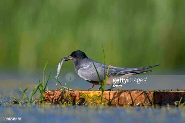 Black tern in breeding plumage with caught fish on floating artificial nesting platform in pond