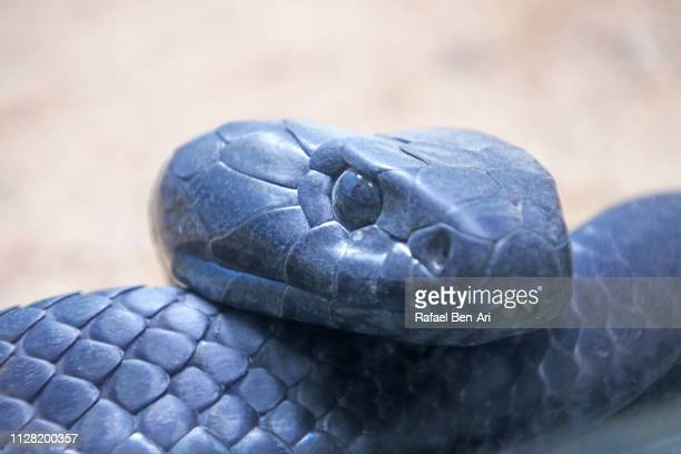 black tiger snake - rafael ben ari stock pictures, royalty-free photos & images