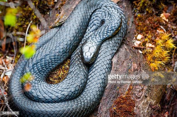 black tiger snake (notechis ater) - serpente tigre foto e immagini stock