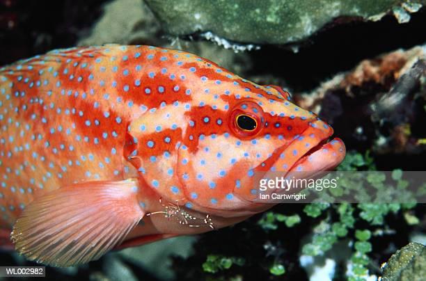 Black Tip Grouper -- Maldives