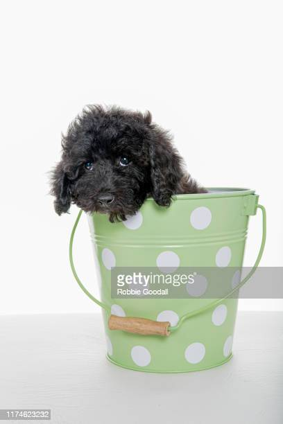black toy poodle puppy sitting in a green spotted bucket looking at the camera on a white background - caniche toy photos et images de collection