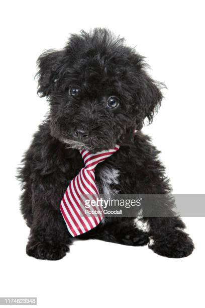 black toy poodle puppy wearing a red striped necktie looking at the camera on a white background - young animal stock pictures, royalty-free photos & images