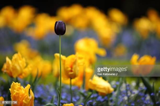 Black tulip among yellow flowers