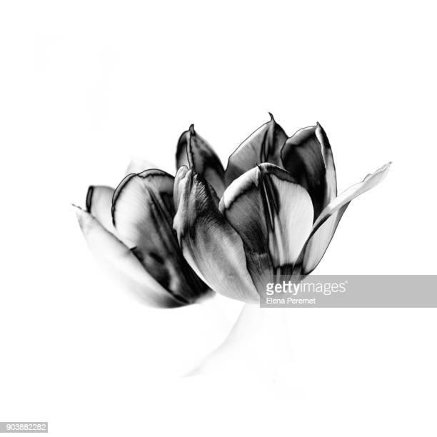 black tulips on white texture - elena blume stock-fotos und bilder