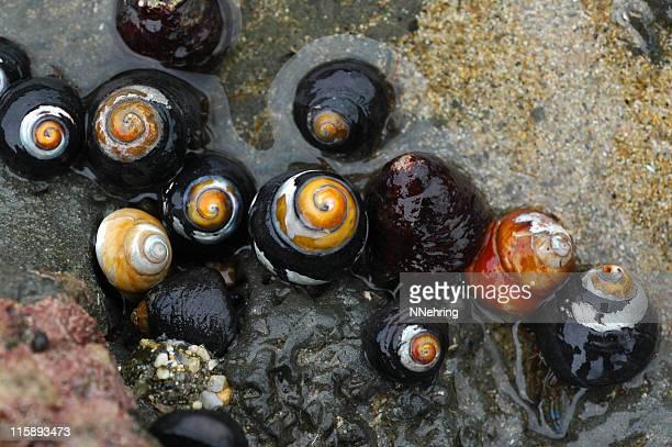 black turban snails, tegula funebralis - tidvattensbassäng bildbanksfoton och bilder