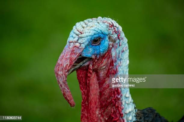 black turkey with blue head - cartoon thanksgiving stock photos and pictures