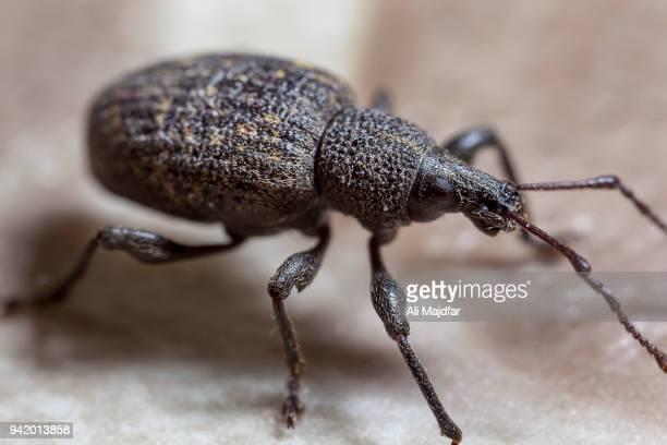 black vine weevil - coleottero foto e immagini stock