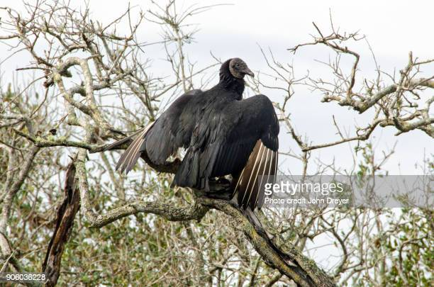 Black Vulture Drying Its Wings