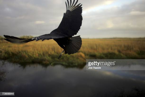 A black vulture flies after being spotted during the Audubon Societies Christmas Bird Count December 20 2006 in the Florida Everglades National Park...