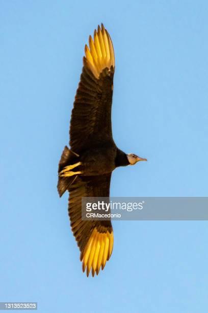 black vulture in flight - crmacedonio photos et images de collection