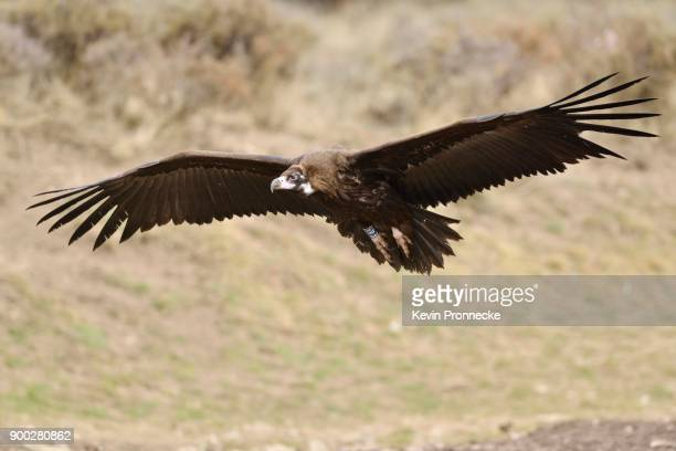 Black vulture (Aegypius monachus) in flight, Pyrenees, Catalonia, Spain