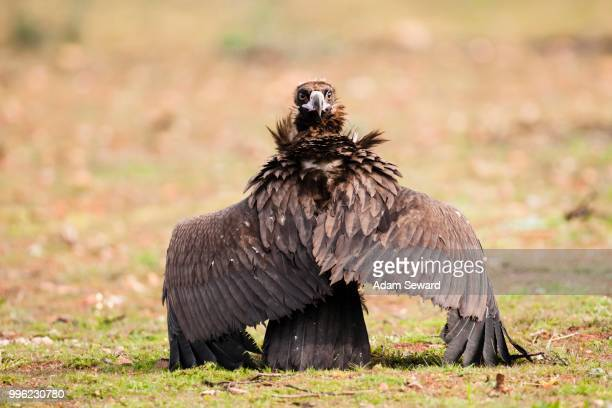Black Vulture (Aegypius monachus) on the ground with wings stretched out and looking backwards, Extremadura, Spain