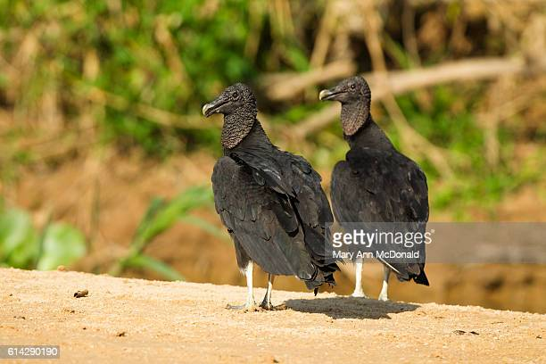 Black Vultures by the Cuiaba River in the Pantanal, Brazil