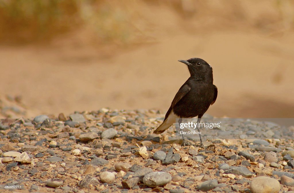 Black Wheatear : Stock Photo