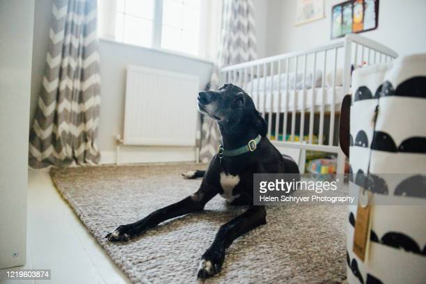 black whippet greyhound dog lying on a rug - whippet stock pictures, royalty-free photos & images