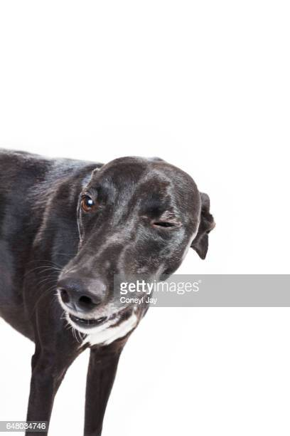 Black whippet who appears to be winking in a photographic studio.
