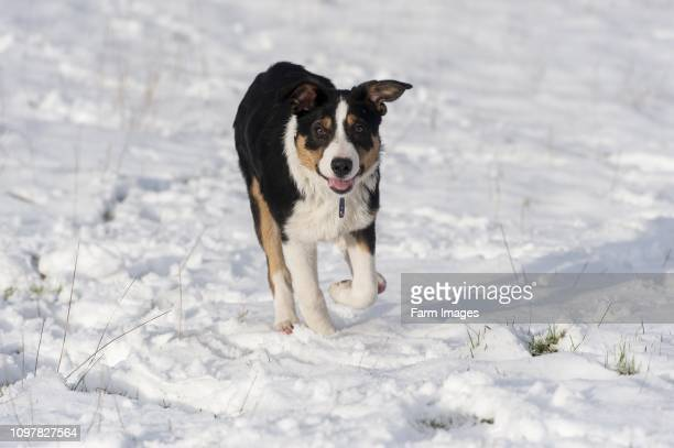 Black white and tan border collie sheepdog pup running in snow UK