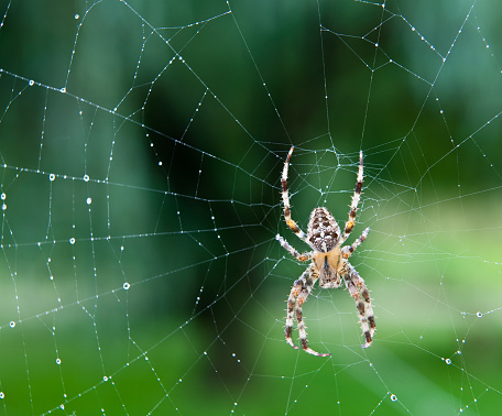 Black, white and yellow spider in the center of a wet web 182212281
