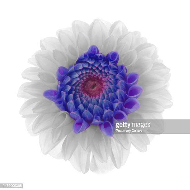 black & white dahlia flower, blue petals at centre on white - image manipulation stock pictures, royalty-free photos & images