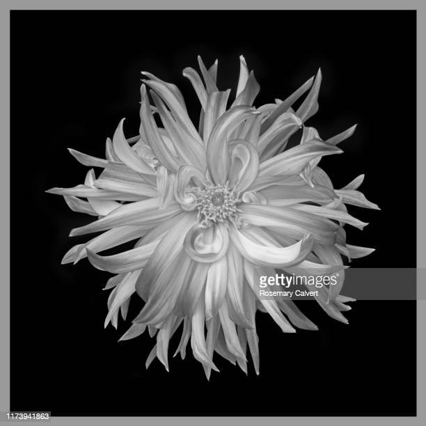 black & white dahlia on black square with grey border. - black border stock pictures, royalty-free photos & images