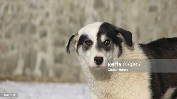 black & white dog - cristian neri foto e immagini stock