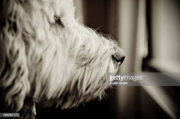 Black & white image of the profile of a labradoodle dog looking out of the window looking contemplative.