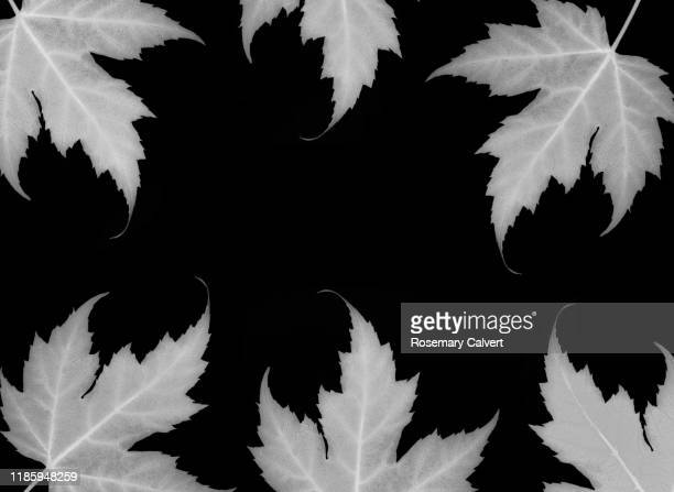black & white maple leaves as border on black. - black border stock pictures, royalty-free photos & images